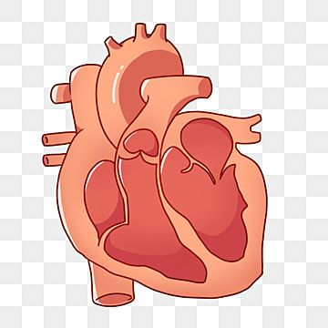 Cartoon Human Heart Illustration Heart Red Heart Human Organs Png Transparent Clipart Image And Psd File For Free Download Heart Illustration Heart Hands Drawing Cartoon Heart