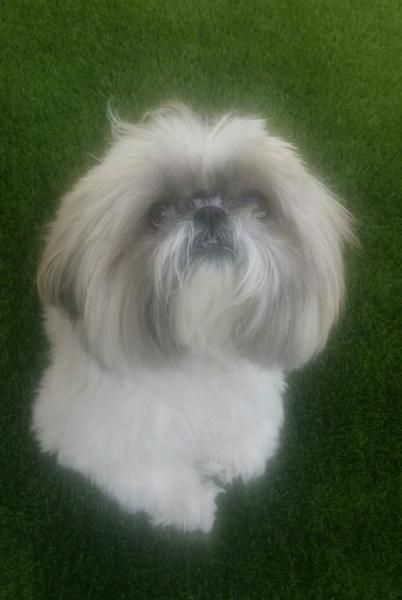 Shih Tzu Dog For Adoption In San Diego Dog Adoption Shih Tzu