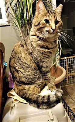 Salem Nh Domestic Shorthair Meet Charity A Cat For Adoption Cat Adoption Cats That Dont Shed Pets