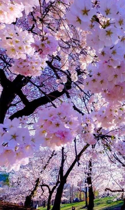 46 Ideas For Sakura Tree Aesthetic Wallpaper Flowers Nature Beautiful Nature Wallpaper Blossom Trees