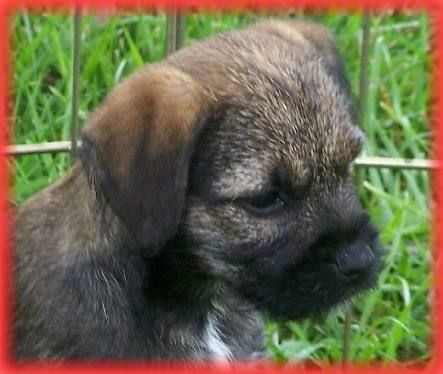 Petbehaviorassociates Com Wildwood Border Terriers Border