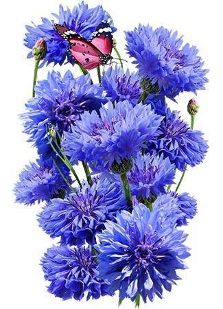 Dwarf Blue Cornflower Seeds Centaurea Cyanus Flower Seeds Packets Flower Seeds Dwarf Plants