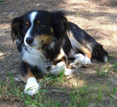 A Tricolor Black With Tan And White Kokoni Is Laying In Brown Grass And Looking Forward Dog Breeds Domestic Dog Breeds