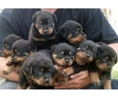 Top Quality Rottweiler Puppies 100 Purebred Rottweiler