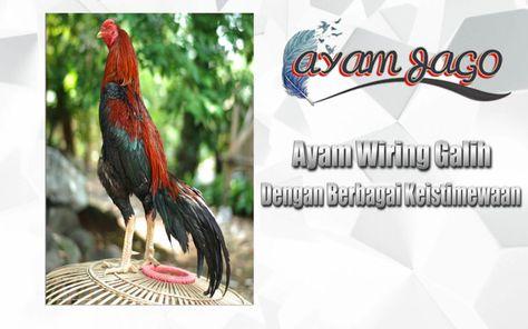 Foto Ayam Wiring Galih Ayam Wiring Galih Dengan Berbagai Keistimewaan Halo Gan Apa Kabar