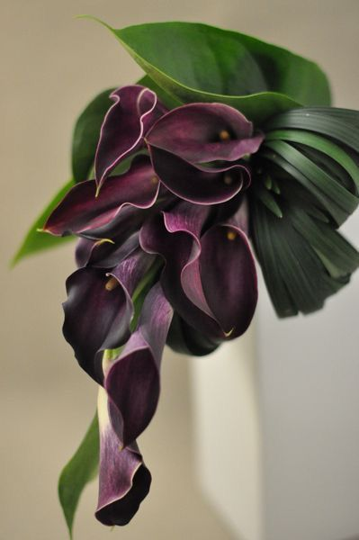 Facts On Calla Lily Including Biology Of The Calla Lily Plant