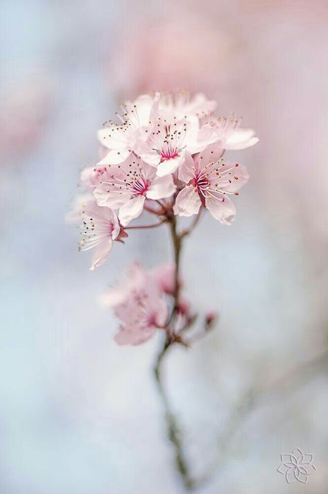 77 Ide Bunga Sakura Bunga Sakura Bunga Sakura