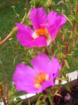 Portulaka Wielkokwiatowa Portulaca Grandiflora Moss Rose Or Moss Rose Purslane Uprawa Portulaki Wielkokwiatowej Opis Rosliny Kwiaty Jednoroczny Siane Plants