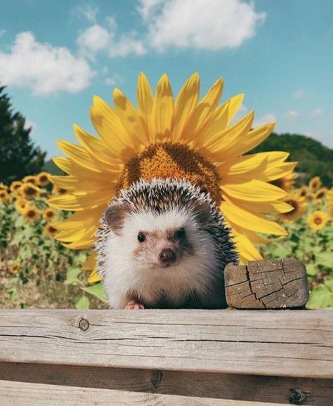 hedgehog and sunflower