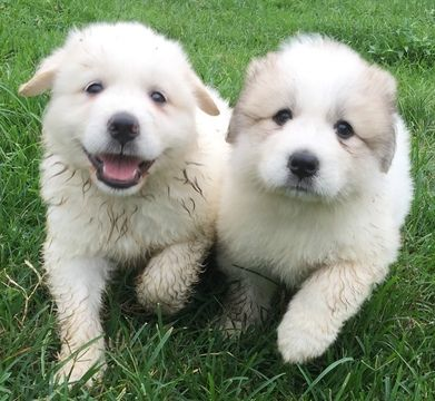 Great Pyrenees Puppy For Sale In Lynchburg Tn Adn 56927 On