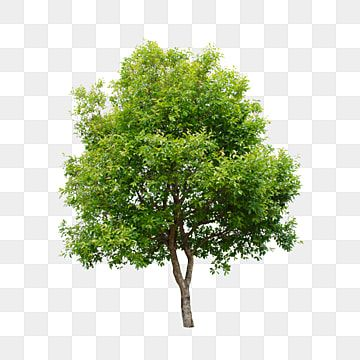 Um Coqueiro Oak Tree Drawings Tree Drawing Tree Silhouette