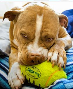 Best Toys For Pit Bulls Strong Durable Pitbull Toys