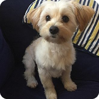 Havanese Yorkie Yorkshire Terrier Mix Dog For Adoption In East Hartford Connec In 2020 Terrier Mix Dogs Yorkshire Terrier Yorkie