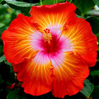 100pcs 24 Colors Giant Hibiscus Seeds Dinnerplate Hibiscus Perennial Flower Ebay Hibiscus Plant Flowers Perennials Flower Seeds