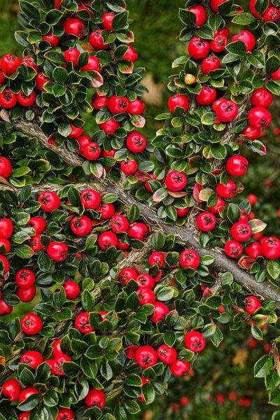 Irga Pozioma W Formie Piennej Lub Krzewu Garden Red Peppercorn
