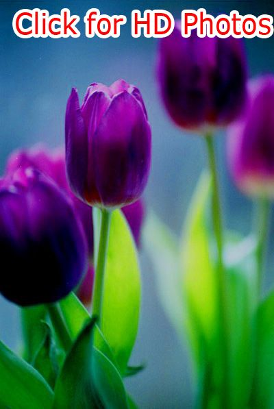 Purple Tulips Hd Photos Purple Tulips Tulips Flowers Beautiful Flowers