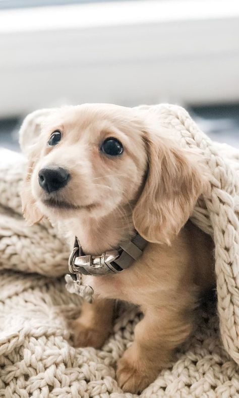 12 Amazing Reasons Dachshunds Are The Cutest Dogs On The Earth - Dachshund Bonus Funny Dachshund, Dachshund Puppies, Weenie Dogs, Dachshund Love, Cute Dogs And Puppies, Dapple Dachshund, I Love Dogs, Cutest Dogs, Cutest Dog Breeds
