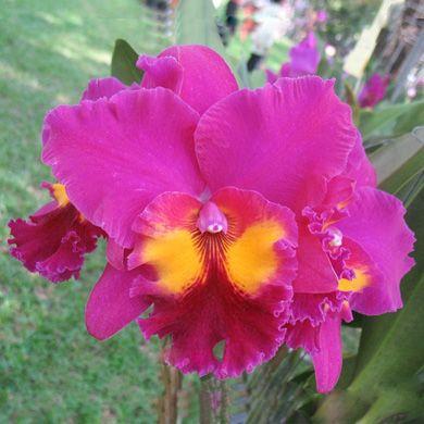 Rlc Tubtim Siam Cattleya Orchids Cattleya Orchid Amazing Flowers Cattleya