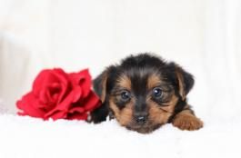 Yorkie Puppies For Sale Page 2 Lancaster Puppies