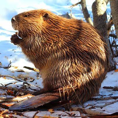 Pin On Beaver