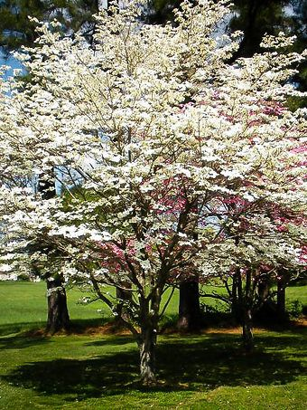 Buy Dogwood Trees Dogwood Trees For Sale The Tree Center Dogwood Trees Flowering Trees Trees To Plant