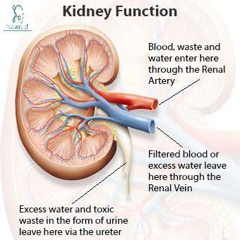 Kidney Anatomy Arterial Supply Function Common Kidney