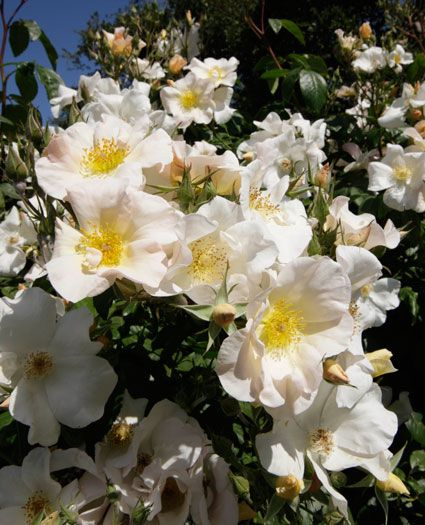 'Sally Holmes' Heady fragrance and generous bloom over a very long season. Reaches about 6' high and 5' wide if left alone to grow as shrub. If trained as a climber, it can reach 12 feet high. Tolerant of some shade. Is nearly thornless. Vigorous. Enjoy it for decades to come. Zones 5-9. Own root.
