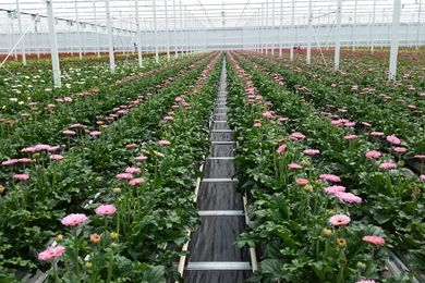 Cultivation System For Gerberas At Hollandia Greenhouses Ltd In Canada Meteor Systems