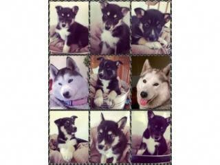 Siberian Husky Pups These Pups Have Been Brought Up In A Home