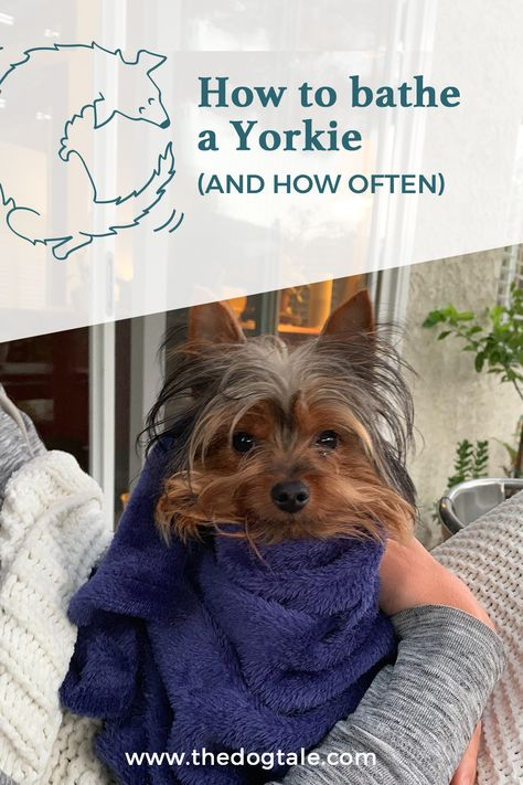 Properly Bathing A Yorkie Puppy Requires A Safe Water Temperature