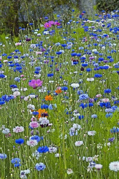 How To Grow Bachelor S Button Cornflower Gardener S Path