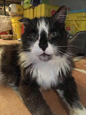 Scottsdale Az Meet Oreo A Great Looking Intelligent Loves To Be A Lap Cat Kind Of Cat For Immediate Adoption Cat Adoption Siberian Cats For Sale Saving Cat