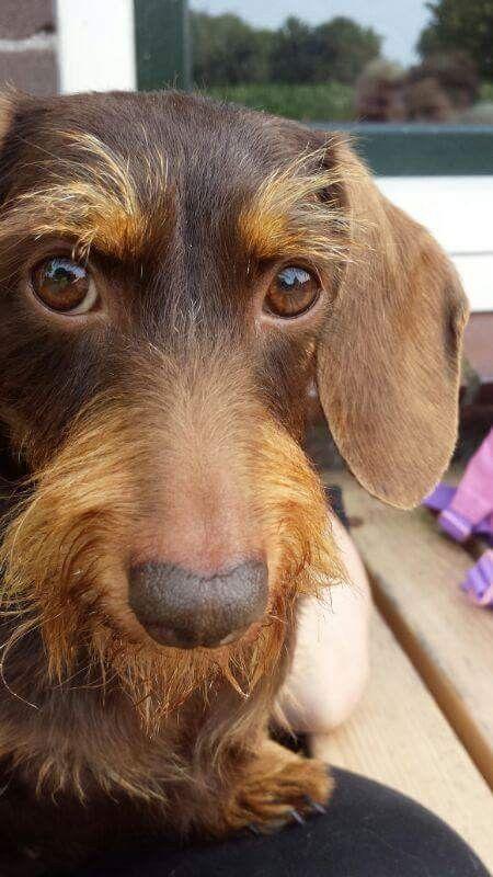 Chocolate Wire Hair Dachshund Wire Haired Dachshund Dachshund Weenie Dogs