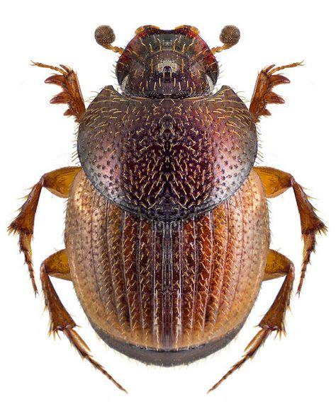 Onthophagus centricornis