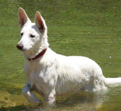 Gunther White German Shepherds Our Eighteenth Year