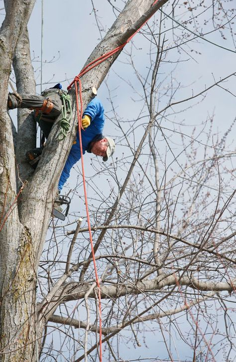 Cliff Jette | TheGazette A photo accompanying a spring article about arborists in the Corridor area.