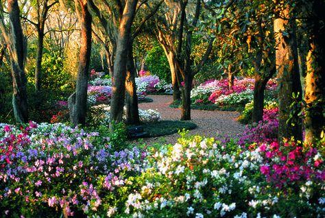 Next big garden project: plant lots of azaleas under the pine trees