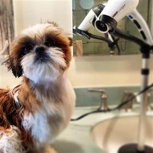 How To Properly Bathe A Shih Tzu Shih Tzu Dry Shampoo Dogs