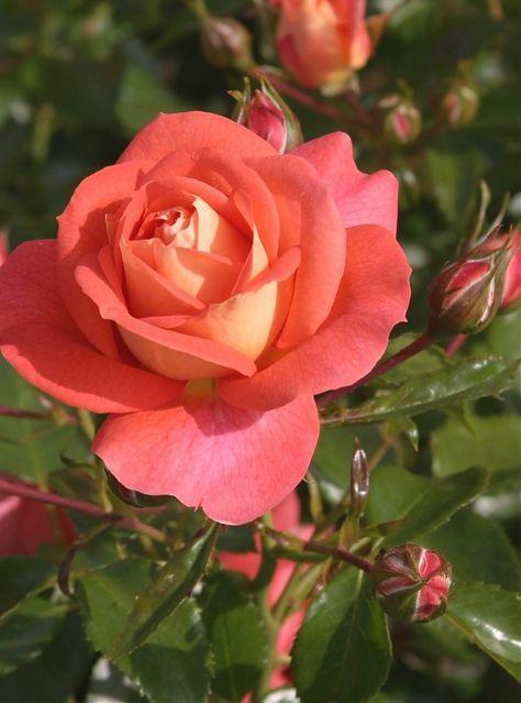 Floribunda Rose: Rosa 'Sommersonne' AKA 'Summer Sun' (Germany, before 2008)