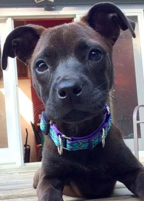 Adopt Viola On Terrier Mix Dogs Pitbull Terrier Animals Pets