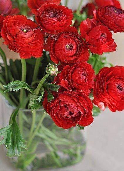 Ranunculus Is A Large Genus Of About 500 Species Of Flowering Plants In The Family Ranunculaceae Members Of The Genus Are In 2020 Schone Blumen Fruhlingsblumen Blumen