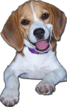 Beagle Breeder In Bedford Ia Beagle Puppy Puppies For Sale Puppies