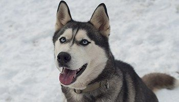 Siberian Husky Price Discover This Canine S Cost Siberian