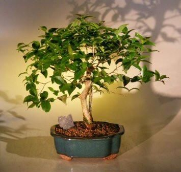 Bonsai tree with small white flowers gallery flower decoration ideas bonsai tree with small white flowers images flower decoration ideas flowering japanese honeysuckle bonsai tree mediumlonicera mightylinksfo