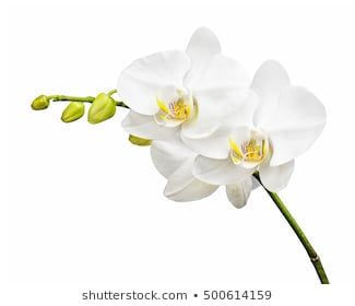 Similar Images Stock Photos Vectors Of White Orchid Isolated On White Background 426326476 Shutterstock In 2020 White Orchids Orchids Beautiful Orchids