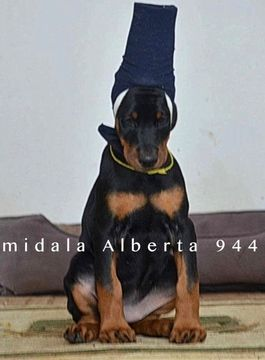 Doberman Pinscher Puppy For Sale In Murrieta Ca Adn 69285 On