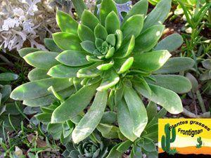 Distintos Tipos De Aeonium Aeonium Híbrido Haworthii Aeoniumaeonium Distintos Haworthii Híbrido Tipos Desert Garden Succulents Different Types