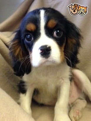 We Have Stunning Male Cavalier King Charles Spaniels Tri Colour