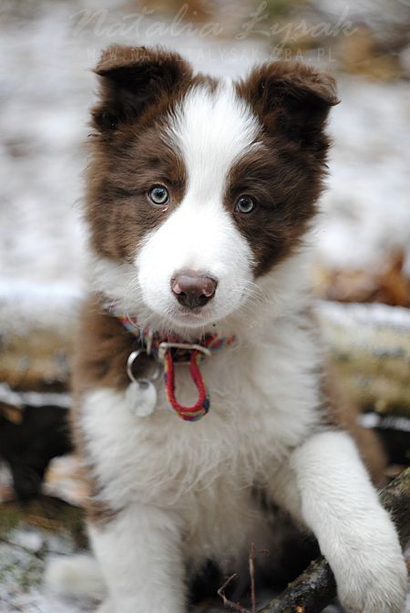Red And White Border Collie Pup With Red Collar Standing Looking
