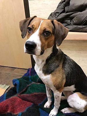 New York Ny Beagle Meet Princess A Pet For Adoption Calm